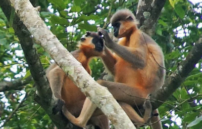 Gibbon WLS